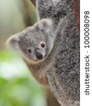 Stock photo cute australian koala bear baby or joey sydney new south wales australia grey bear 100008098