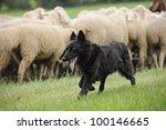 Black Sheepdog With A Lot Sheep ...
