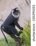 Lion Tailed Macaque On A Branch