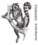 ring tailed lemur or lemur... | Shutterstock .eps vector #100498312