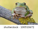 tree frog  hyla intermedia    ...