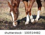 chestnut horse digging ground...   Shutterstock . vector #100514482