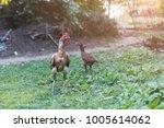 fighting cock on green grass ... | Shutterstock . vector #1005614062
