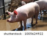 domesticated pig behind metal... | Shutterstock . vector #1005624922