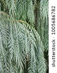 close up of a silver conifer... | Shutterstock . vector #1005686782