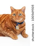 Stock photo an overweight orange tabby cat with green eyes wearing a blue collar and tags laying down and 100569505