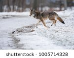 an eastern coyote  sometimes... | Shutterstock . vector #1005714328