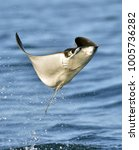 mobula ray jumping out of the... | Shutterstock . vector #1005736282