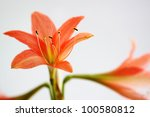 may flower isolated on white - stock photo