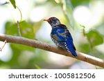 violet cuckoo juvenile   Shutterstock . vector #1005812506
