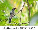 violet cuckoo juvenile   Shutterstock . vector #1005812512