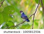 violet cuckoo juvenile   Shutterstock . vector #1005812536