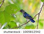 violet cuckoo juvenile   Shutterstock . vector #1005812542