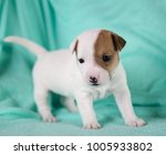 jack russell puppy four weeks... | Shutterstock . vector #1005933802