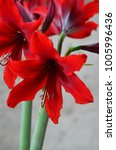 Small photo of Red species Hipperastrum or species Amaryllis flower Carina Flower blooming