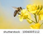 Honey Bee Collecting Pollen On...