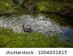 platypus in cradle mountain...