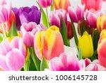 tulip. spring flowers... | Shutterstock . vector #1006145728