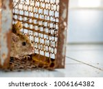 rat in a cage catching a rat.... | Shutterstock . vector #1006164382