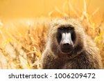 portrait of adult olive baboon... | Shutterstock . vector #1006209472