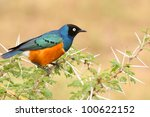Colorful Superb Starling On Th...