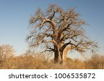 baobab plant in the african... | Shutterstock . vector #1006535872