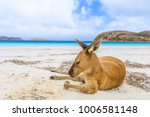 Stock photo close up of kangaroo on white sand of lucky bay in cape le grand national park near esperance in 1006581148