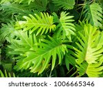 golden xanadu philodendron ... | Shutterstock . vector #1006665346