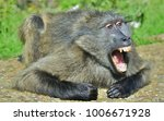 baboon with open mouth  ... | Shutterstock . vector #1006671928