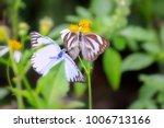 striped albatross  appias... | Shutterstock . vector #1006713166