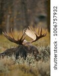 Small photo of Moose (Alces alces) Grand Teton NP, Wyoming, USA