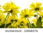 Big, yellow marguerites on a white background - stock photo
