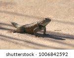Desert Spiny Lizard  Missing...