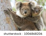 female koala with a young joey... | Shutterstock . vector #1006868206
