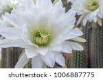 White Cactus Flower Closeup  ...