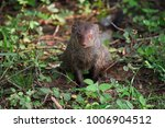 indian mongoose watches its... | Shutterstock . vector #1006904512