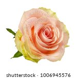 Stock photo fresh beautiful rose isolated on white background with clipping path 1006945576