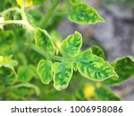 tomato yellow leaf curl disease ... | Shutterstock . vector #1006958086