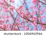 beautiful wild himalayan cherry ... | Shutterstock . vector #1006963966