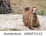 the camel is resting on a sand... | Shutterstock . vector #1006971112
