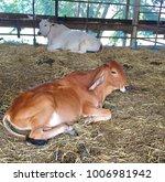 baby buffalo in conutryside | Shutterstock . vector #1006981942
