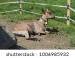 goat laying down | Shutterstock . vector #1006985932