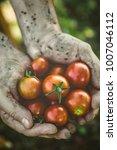 tomato harvest. farmers hands...   Shutterstock . vector #1007046112