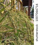 Small photo of Rice panicle diplay outdoor