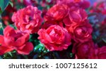 close up of uncultivated red... | Shutterstock . vector #1007125612