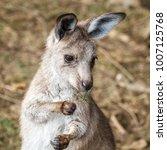 Cute grey kangaroo joey ...