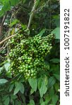 Small photo of Green fruit vine vine in the jungle.