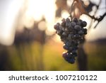 blue vine grapes. grapes for... | Shutterstock . vector #1007210122