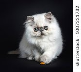 Small photo of Persian longhair cat / kitten playing with food on black backgroud with one paw on the edge