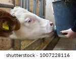 close up of big calf suckling... | Shutterstock . vector #1007228116